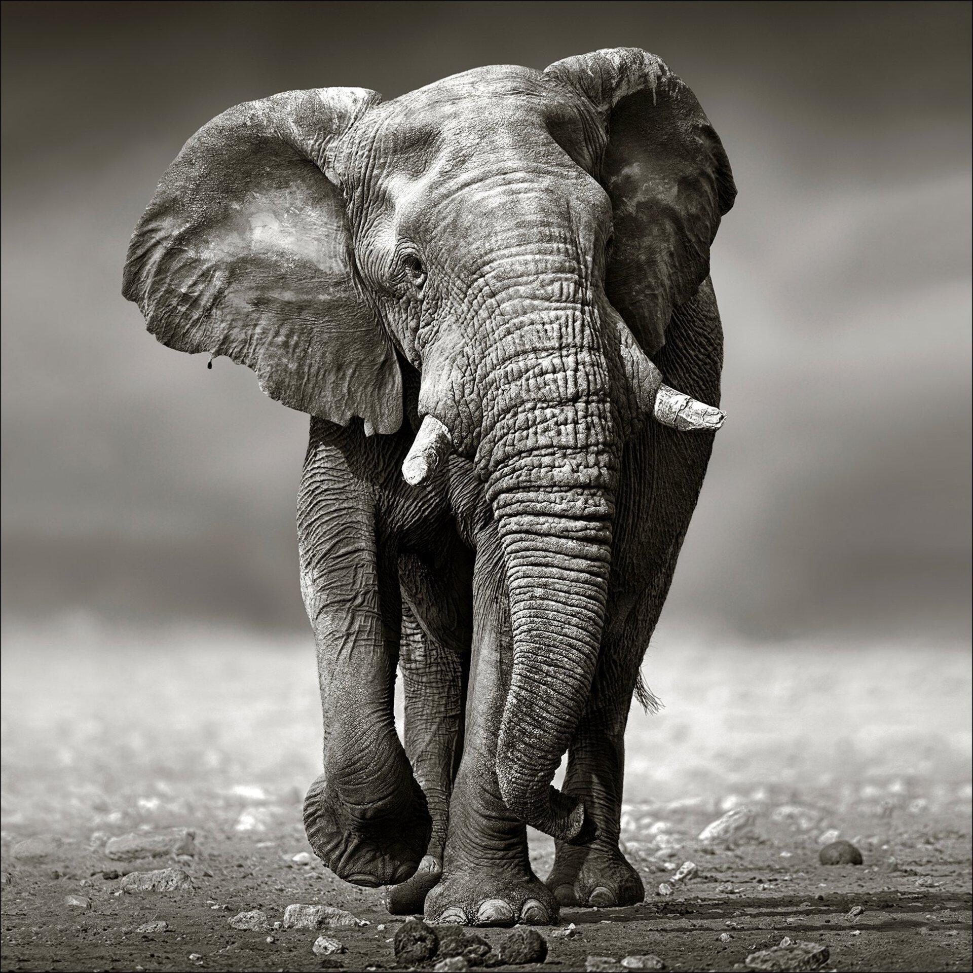 Bild Grey Elephant Pro-Art Glas 80 x 80 x 1 cm